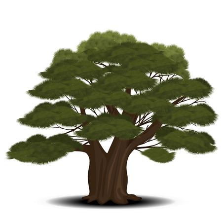 árbol de cedro con agujas de color verde sobre un fondo blanco