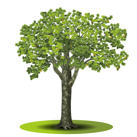 sycamore: detached tree sycamore with green leaves on a white background Illustration