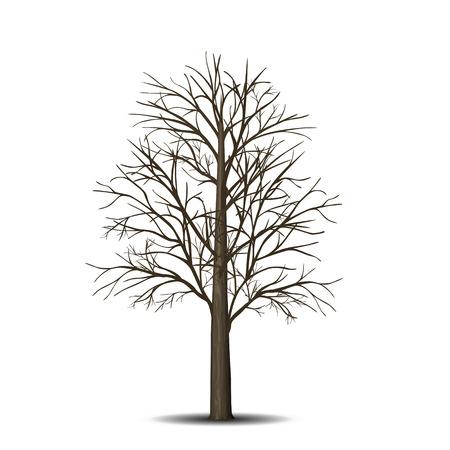 frei stehende Ahornbaum ohne Blätter auf einem weißen Hintergrund