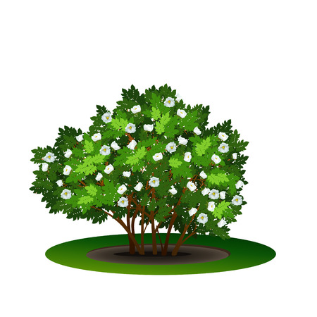 dogrose: bush dogrose with green leaves and flowers on white background Illustration