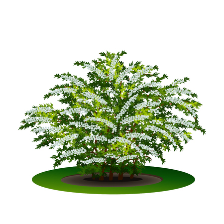bush spirea with green leaves and flowers on white background