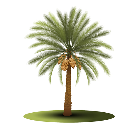 palm tree with green leaves and dates on a white background Illustration