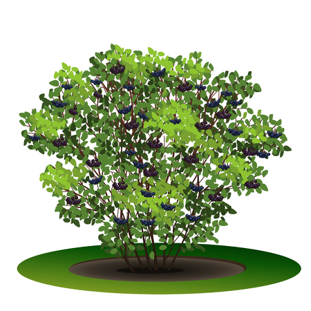 Aronia bush with green leaves and shadow on white background.