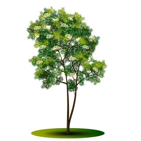 Detached tree rowan with green leaves and flowers on a white background