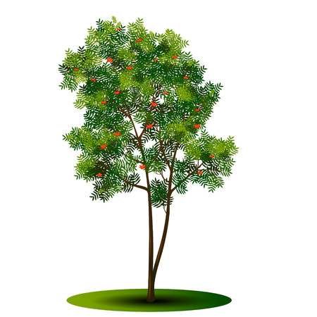 A detached tree rowan with green leaves on a white background Illustration