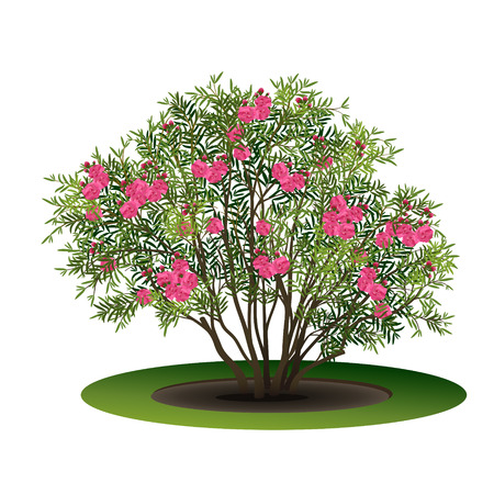bush nerium oleander with pink flowers and shadow on white background