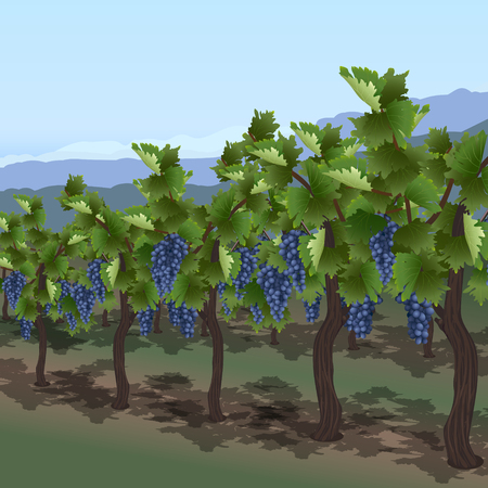vineyard with berries against the backdrop of the mountains