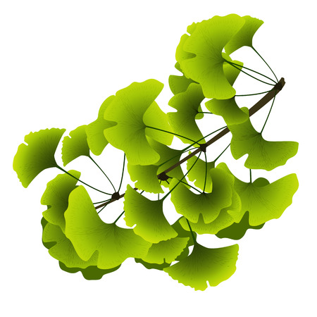 ginkgo biloba tree branch with green leaves on a white background