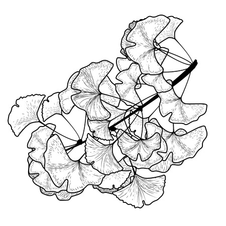 sketch ginkgo biloba tree branch with leaves on a white background