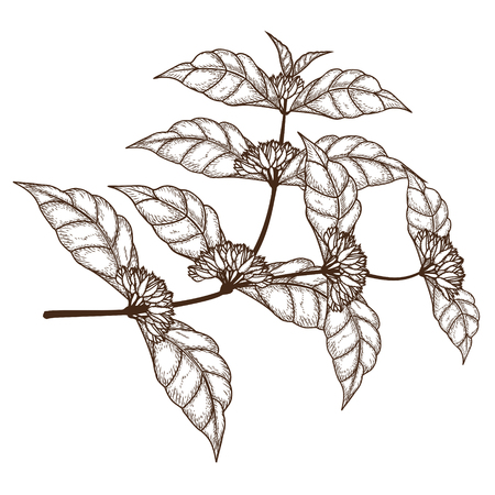 sketch coffee tree branch with flowers on a white background