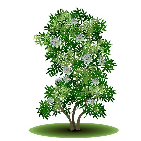 detached tree passionflower with green leaves and flowers on a white background Illustration