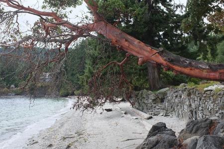 張り出したアービュートス木、他の木、流木、岩擁壁、Beddis ビーチ、ソルト スプリング島、BC、カナダでロック ステップで砂浜の狭い、捨てられた 写真素材