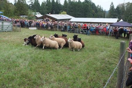 2015 秋フェア、ソルト スプリング島、BC、カナダで牧羊犬デモンストレーション