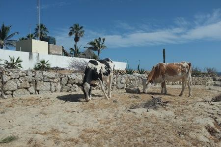 ビーチ、サン ホセ デル カボ, バハ カリフォルニア スル、メキシコの近くの牛