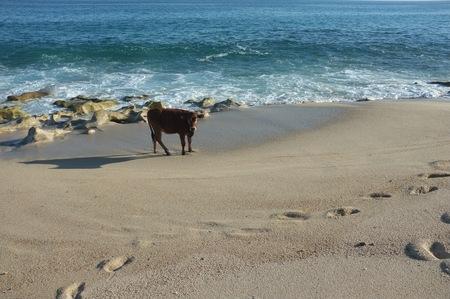 ビーチ、サン ホセ デル カボ, バハ カリフォルニア スル、メキシコで牛 写真素材