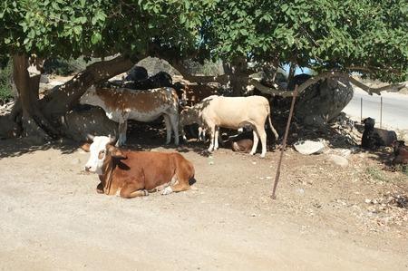 牛の木の下、サン ホセ デル カボ, バハカリフォルニアスル, メキシコ