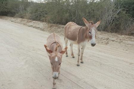 baja california: Donkeys on East Cape Road, San Jose del Cabo, Baja California Sur, Mexico