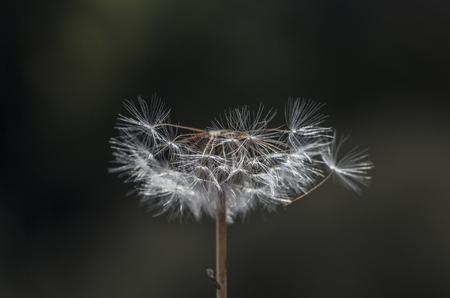 distinct: dandelion