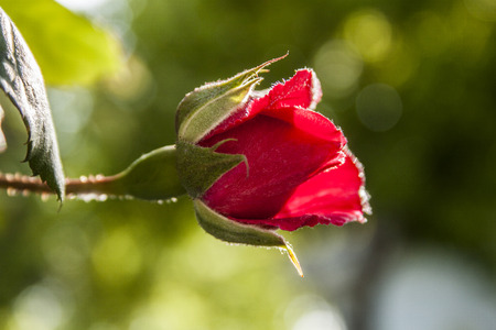 semblance: red rose Stock Photo