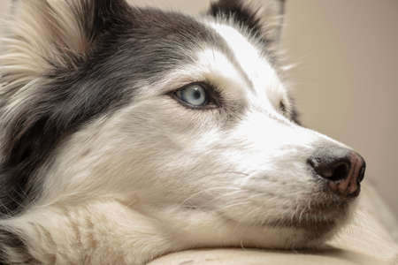 blue eyed black and white hairy adult female Siberian Husky