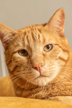 Close-up Pet Blonde Striped Cute Male Cat Portrait Imagens