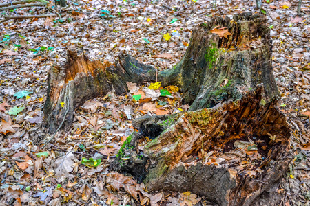 Old stump in forest