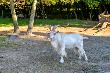 billygoat: Male goat on farm