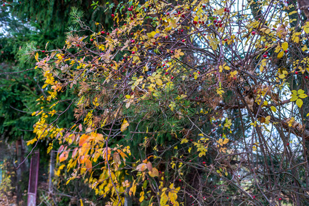 Background, spruce tree, briar, yellow leafs at autumn Stock Photo