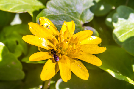syrphid fly: Marsh Marigold (Caltha palustris) at early spring, insect, macro