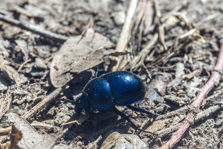clustered: Earth-boring dung beetle