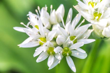 alliaceae: Wild Garlic (Allium ursinum) blossom at spring