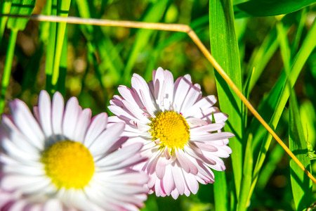 edges: Daisy flowers with pink edges