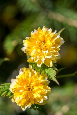 japonica: Orange Kerria japonica flower at spring