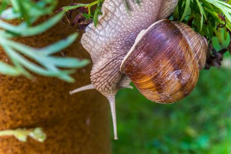 Garden snail slide on garden leafs, upside down