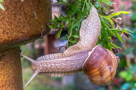 upside: Garden snail slide on garden leafs, upside down