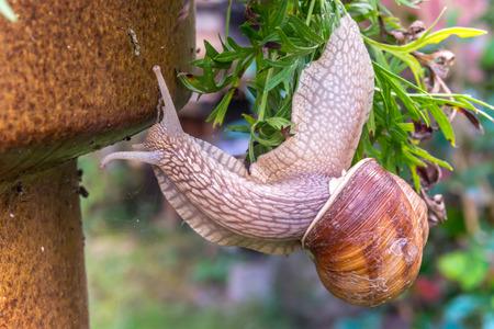 cabeza abajo: Garden snail slide on garden leafs, upside down