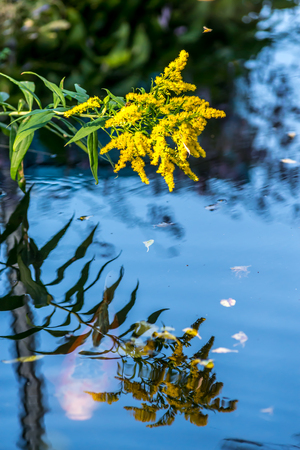koi carp: Yellow flower reflection in pond with underwater Koi Carp Stock Photo
