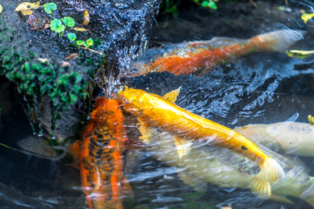 Few colorful Koi carp under waterfall catching and eating worms Stock Photo