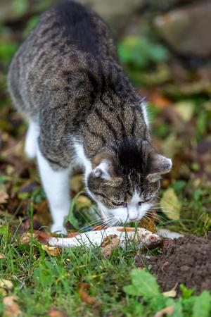 by catch: Domestic cat catch fish Foto de archivo