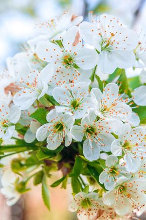 Lente met verse witte kersenbloesems van april Stockfoto