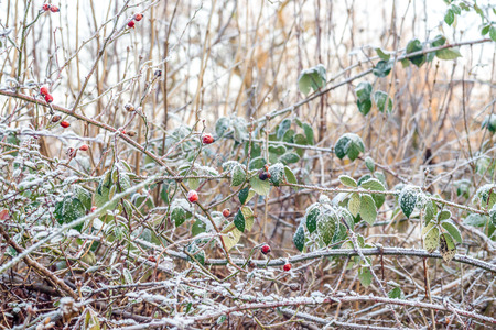 Dog rose (Rosa canina) covered by snow ice crystals in late winter (January)