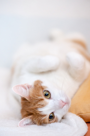 Cute ginger cat lie on back with folded paws and posing for portrait with wide open eyes Stock Photo