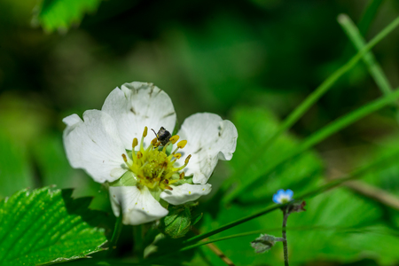 Wild forest strawberry flower Stock Photo
