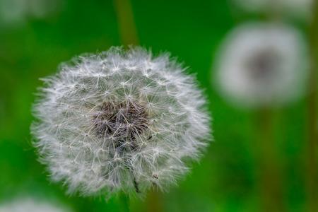 Pissenlit fleur de tête pleine de graines