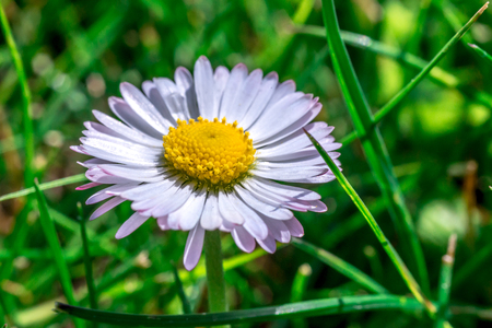 Daisy flower closeup in grass Stock Photo