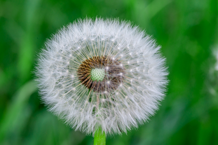 Dandelion flower head full of seeds