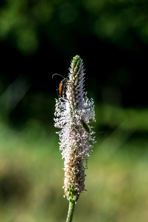 plantain herb: Narrowleaf plantain (Plantago lanceolata) flower with insect Stock Photo