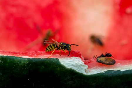 Wasp eating water melon, macro Stock Photo