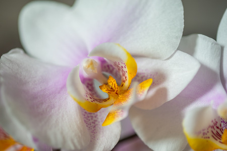 White Orchid (phalaenopsis) blossom close-up, gift, valentine, love, romance