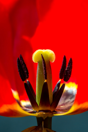 Red tulip flower blossom, portrait